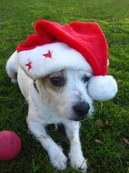 Merry Christmas, Jack Russel Terrier, Christmas Dog