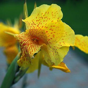 Kanna, Cannae Divided Flower, Yellow Kiat, Flowering