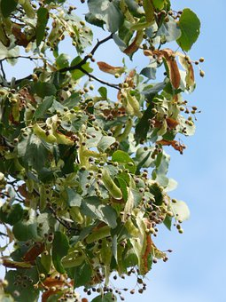 Linden Fruits, Linde, Pods, Linden Seeds, Winter Linde