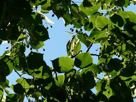 Seeds, Linde, Tree, Linden Seeds, Fruits, Winter Linde