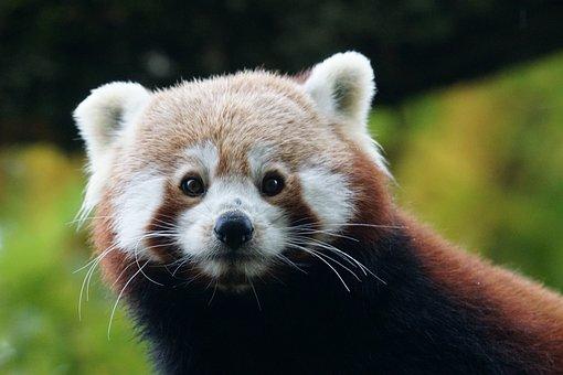 Panda, Red Panda, Ailurus Fulgens, Cute, Fire Fox