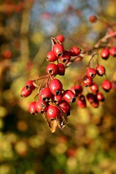 Rose Hip, Red, Fruit, Nature, Plant, Wild Rose, Autumn