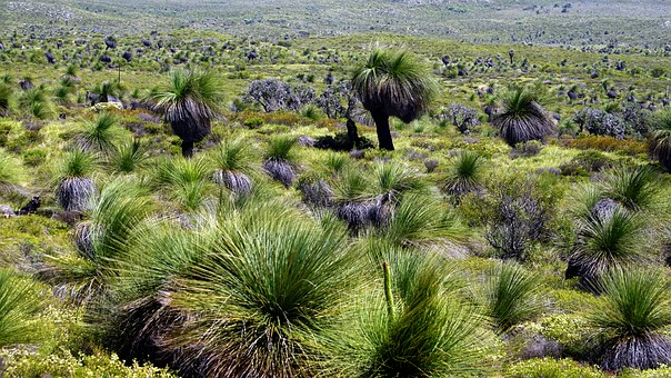 Grass Trees, Australia, Do Not Incinerate, Slow Growth