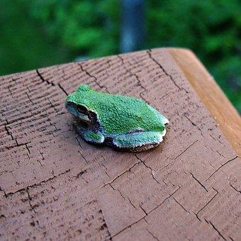 Deck, Tree Frog, Minnesota