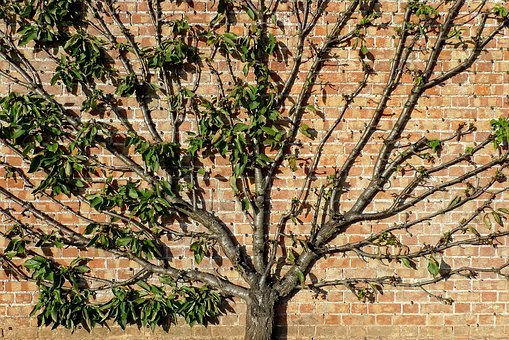 Tree, Trained, Fan, Fruit, Apple, Ornamental, Wall