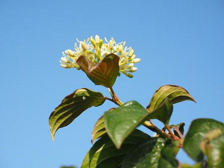 Red Dogwood, Blossom, Bloom, White, Leaves, Dogwood
