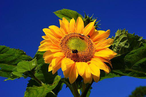 Sun Flower, Blossom, Bloom, Yellow, Late Summer, Flower