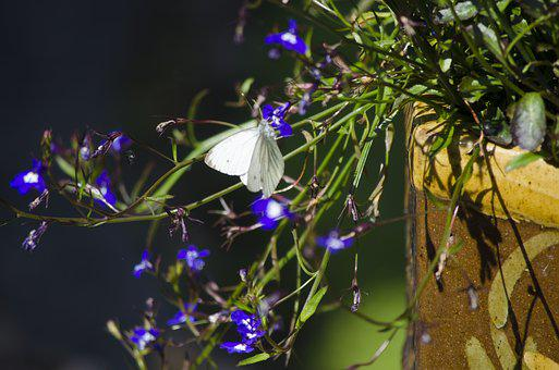 Cabbage White Butterfly, Butterfly, Garden, Nature