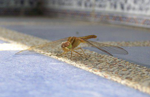Dragonfly, Insect, Bug, Fly, Wing, Eye