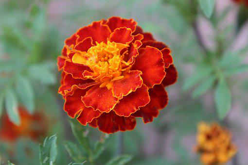 Marigold, Flower, Closeup, Orange, Summer