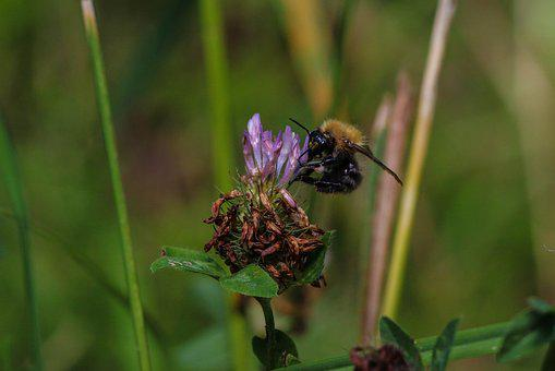 Bumble Bee, Insect, Flower, Summer Flower, Nature