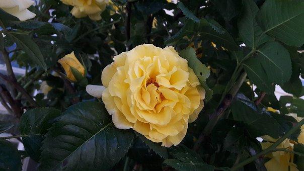 Flourish, Ros, Roses, Garden, Yellow, Yellow Rose
