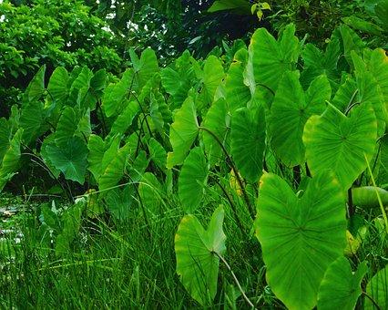 Louts, Plants, Green, Water Plants