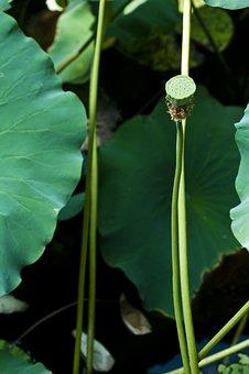 Suzhou, Start Garden, Hawthorn, Lotus, Lotus Leaf