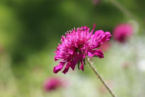 Klee, Pink, Flower, Blossom, Bloom, Detail