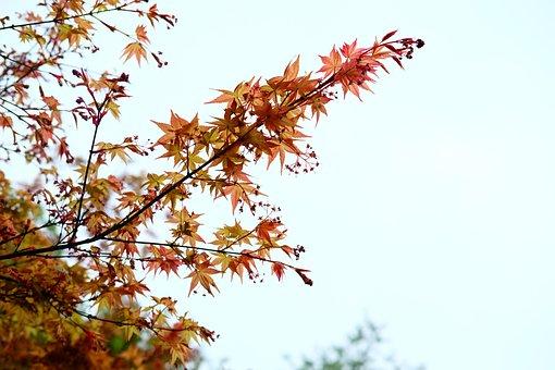 Acer Palmatum, Maple, Red Leaves, Plant