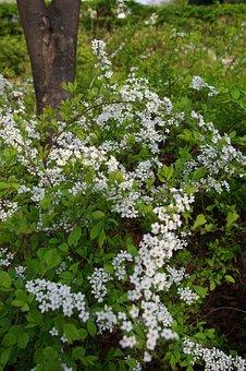 Meadowsweet Flower, Spring Flowers, White Flower