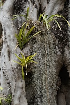 Parasitic Plants, Old Man Beard, Louisiana Moss