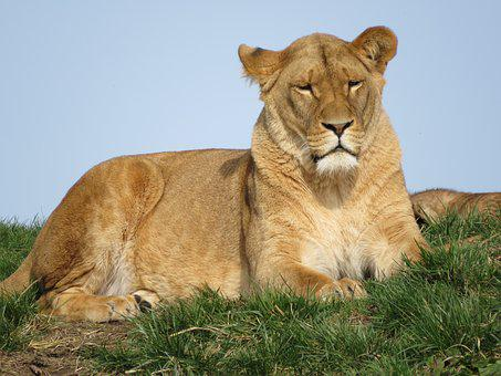 Lion, Animals, Predator, Zoo, Mammal, Nature, Africa