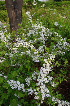 Meadowsweet Flower, Spring Flowers, White Flower
