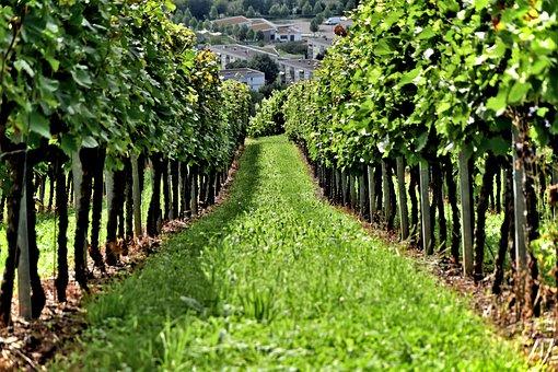 Vine, Wine, Vineyard, Grapes, Drink, Grape, Food, Red