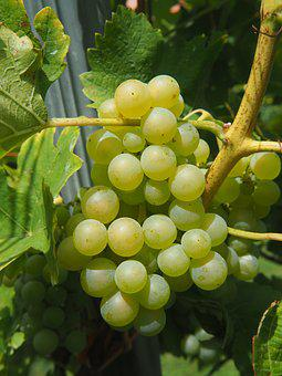 Wine, Grape, Vine, Grapes, Vineyard, Winegrowing, Vines