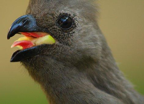 Loerie, African Bird, Go Away Bird