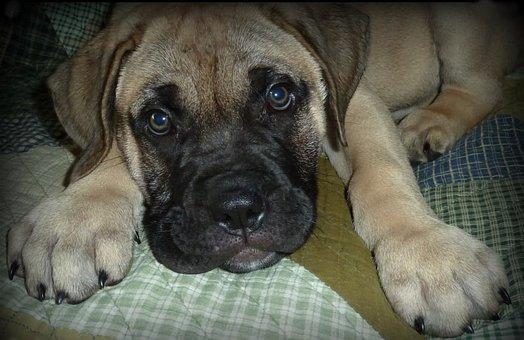 Dog, Puppy, Cute, Animal, Mascot, Soft, Domestic Animal