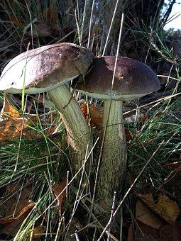 Mushrooms, Autumn, Forest, Cep, Porcini Mushrooms