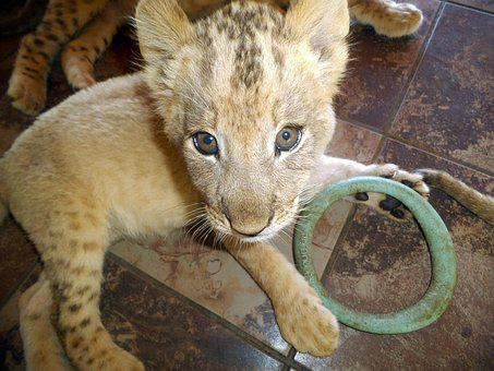 Lion, Cub, Animal, Small Lion