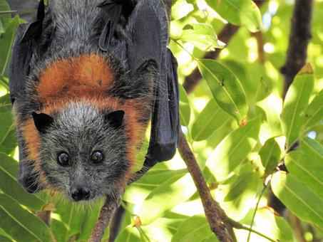 Bat, Wild, Wildlife, Environment, Hanging, Flying Fox