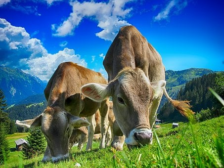 Cows, Cattle, Farm, Rural, Agriculture, Livestock