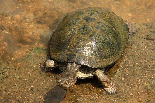 Terrapin, Fresh Water Turtle, Swim