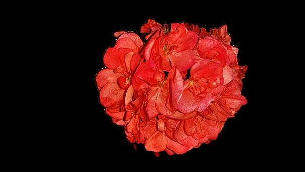 Flowers, Pelagonia, Home Flowers, Png