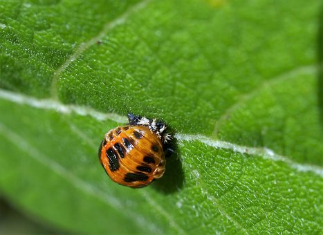 Larvae, Ladybird, Insect, Nature