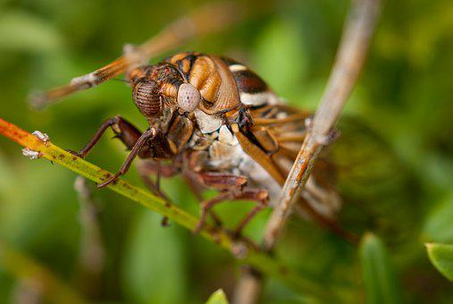 Cicada, Bug, Insect, Macro, Nature, Wildlife