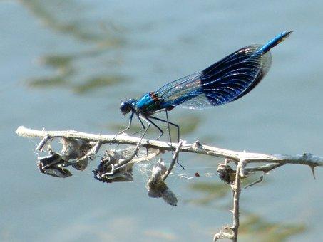 Demoiselle, Dragonfly, Summer, Nature, Sun, Grass
