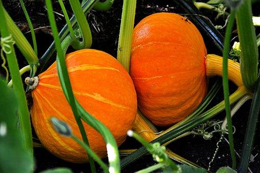 Pumpkin, Growth, Plant