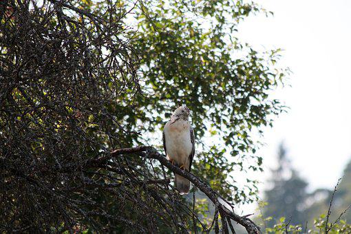 Buzzard, Raptor, Bird Of Prey, Bird, Nature, Fly
