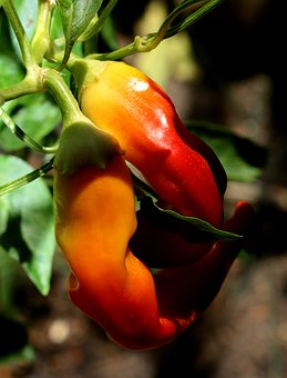 Chili Pepper, Yellow Banana, Hot, Ripe, Garden