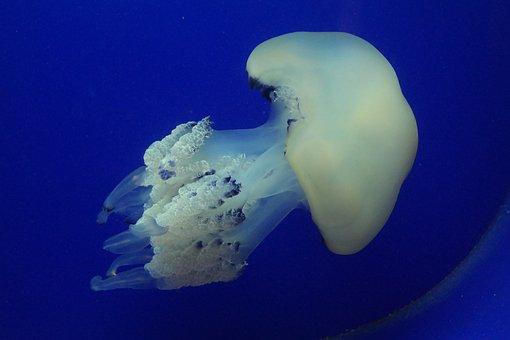 Jellyfish, Under Water Creatures, Sea, Aquarium, Pula