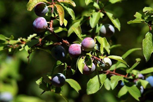 Blackthorn, Sloe, Fruit, Sloe Gin, Wild, Prunus, Tree