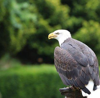 Bald Eagle, Eagle, Bird, Animal, Nature, Predator