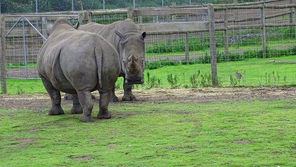 Rhino, Rhinoceros, Wild, Animal, Mammal, Africa, Horn
