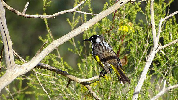 New Holland Honeyeater, Bird, Australian Native Bird