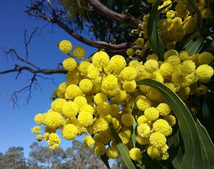 Wattle Blossoms, Springtime, Blue Sky, Acacia