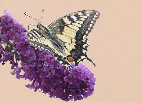Butterfly, Butterflies, Swallowtail Papilio Machaon