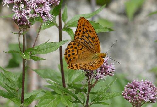 Butterfly, Butterflies, Imperial Coat Argynnis Paphia