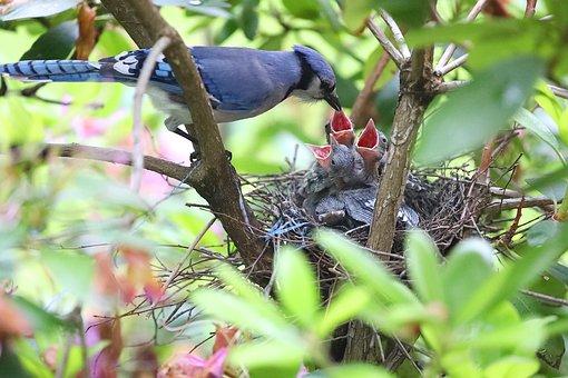 Blue Jays, Feeding, Bird, Wildlife, Eating, Feathers