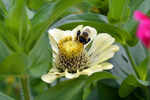 Bee, Bumblebee, Bumble, Pollen, Flower, Insect, Nature